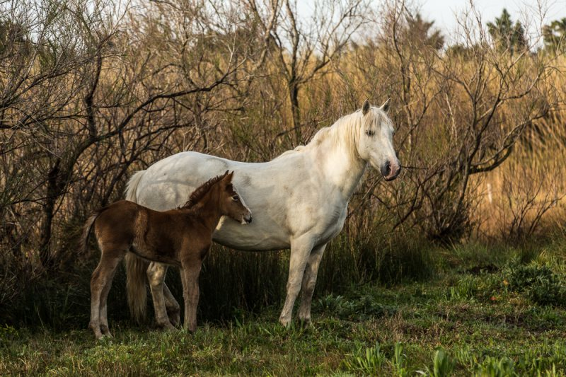 Parenting in the Camargue
